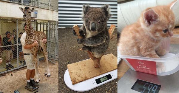 Cum sunt cântărite animalele la zoo! Câteva imagini amuzante care îți vor face ziua mai frumoasă!