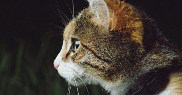 Pisica este o sursă de vitalitate și sănătate pozitive